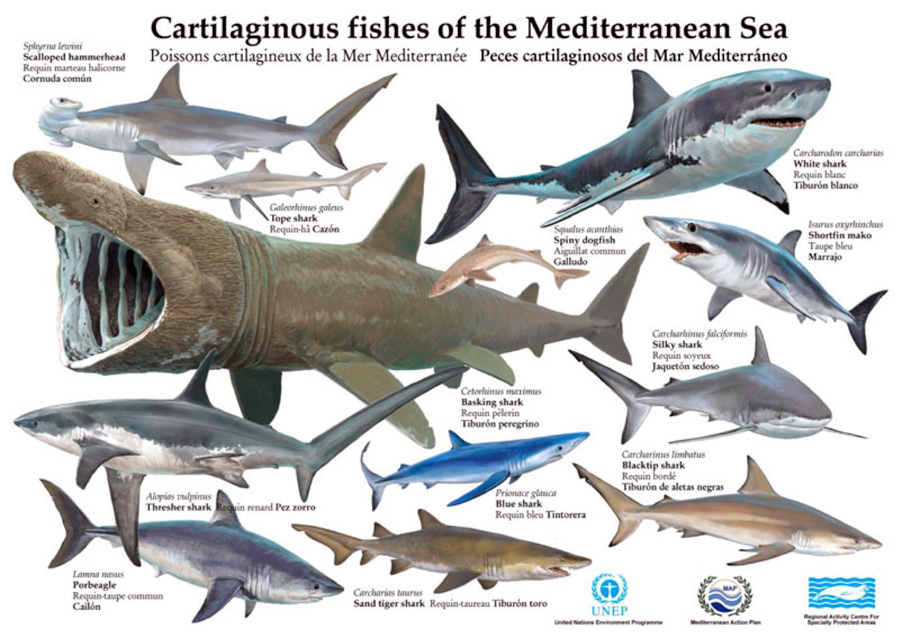 Cartilaginous fishes of the Mediterranean