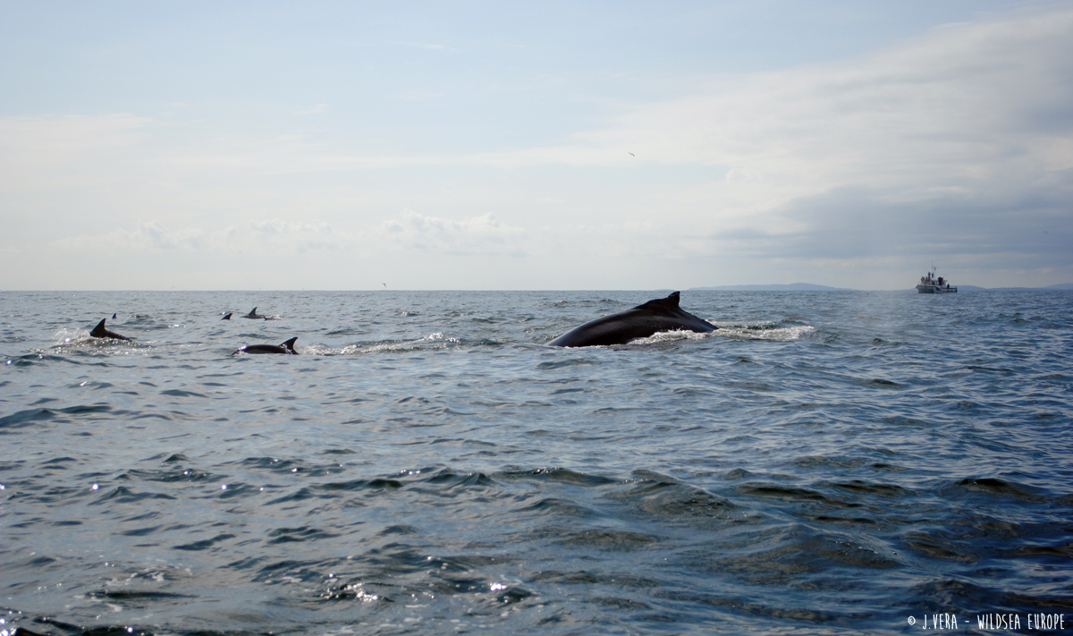 Humpback whale and common dolphins in Baltimore (Ireland)