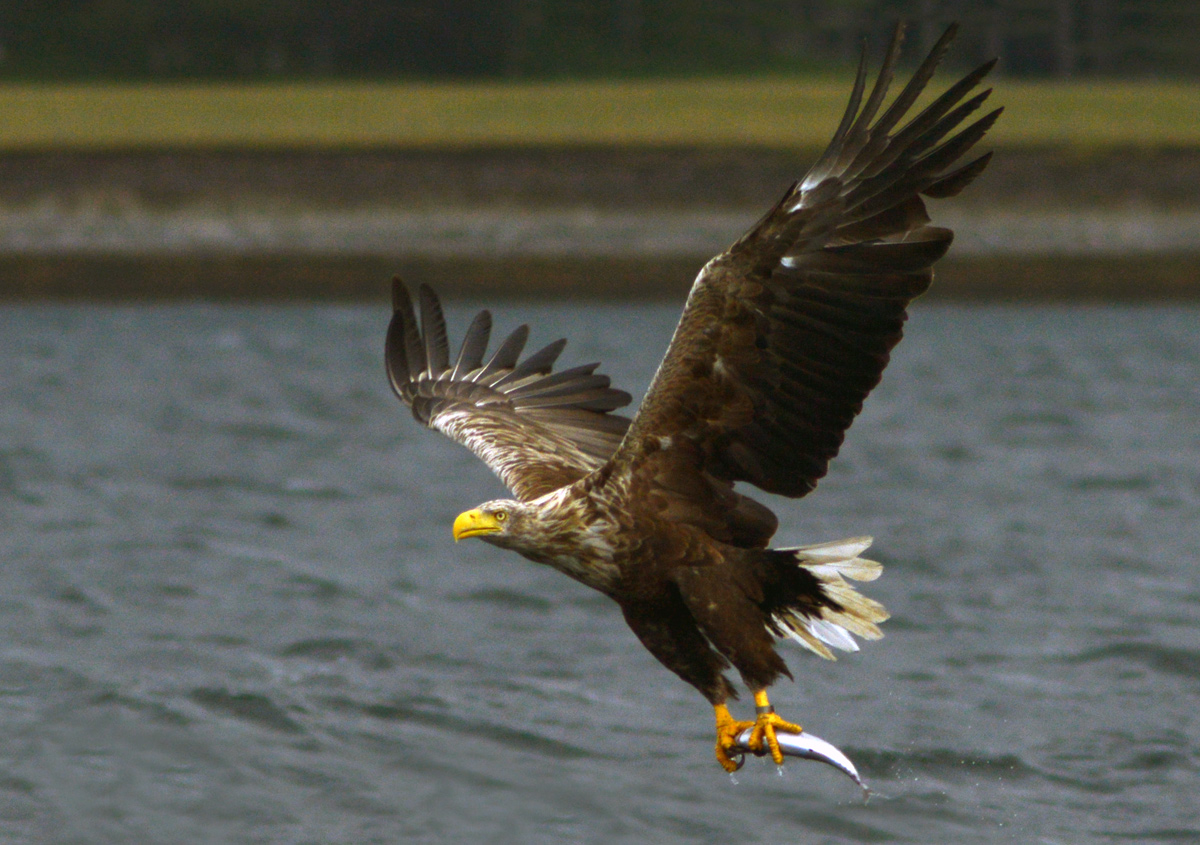 Sea Eagle in the Inner Hebrides