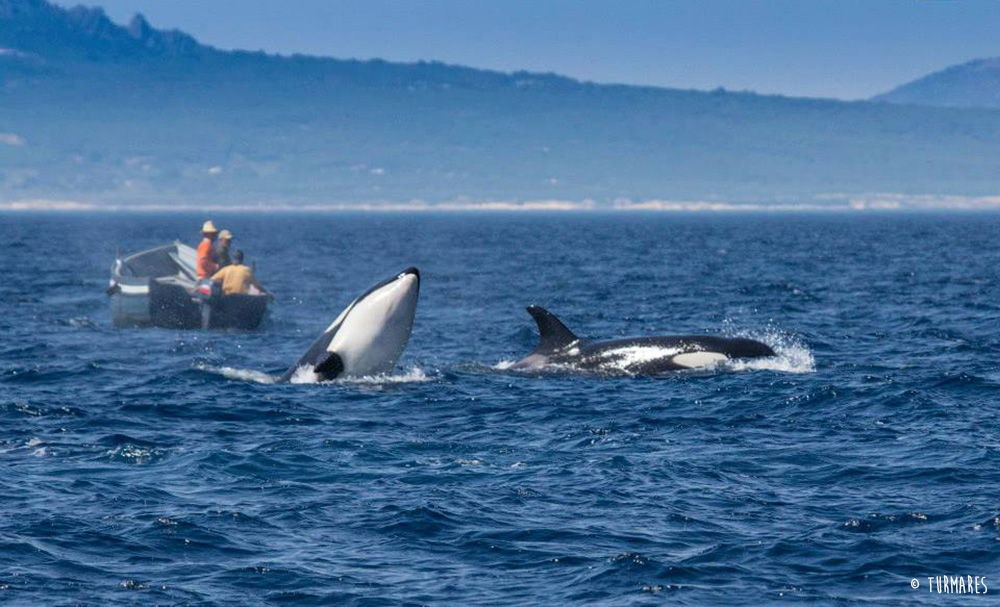 Killer whales in Tarifa (Spain)