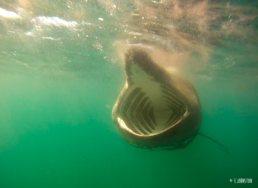 basking-shark-feeds-below-malin-head