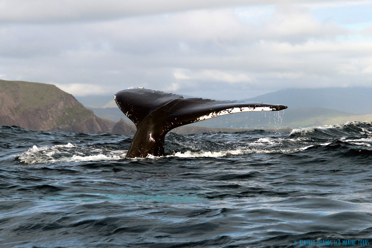 Humpback Whale | Blasket Islands Eco Marine Tours (Kerry, Ireland)