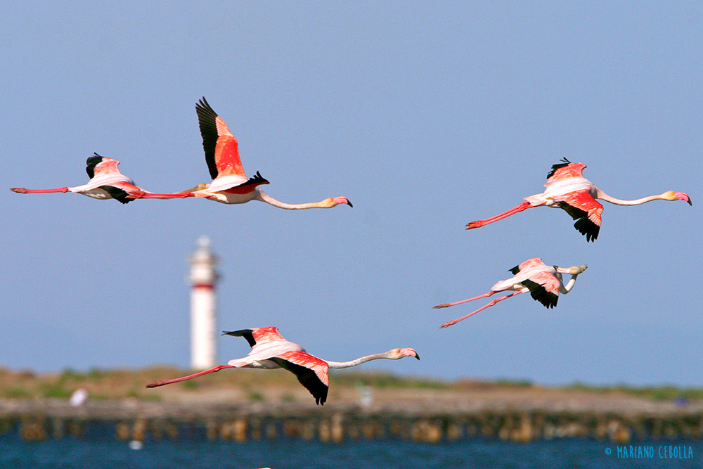 Flamingoes%20flying%20in%20front%20of%20the%20lighthouse%20of%20Fangar---Terres-Ebre
