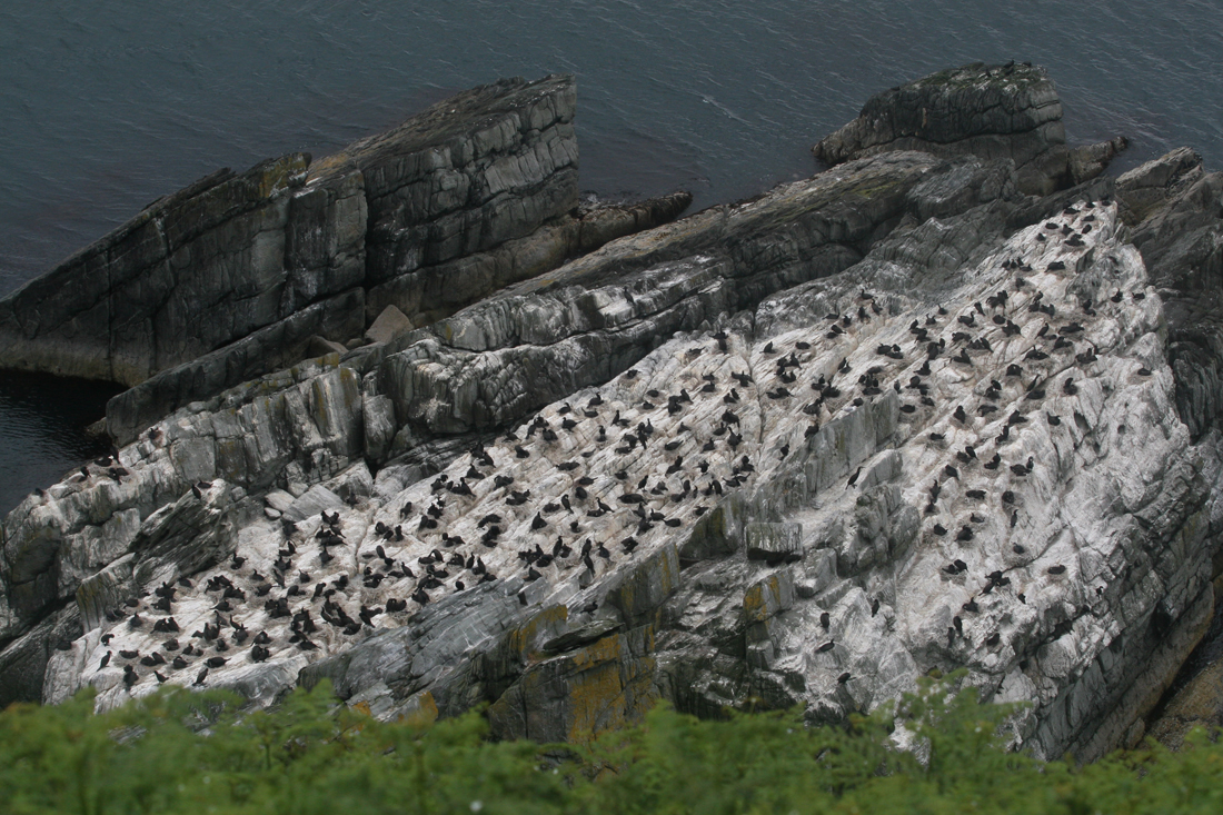 Bird colony in Inishowen (Donegal, Ireland)