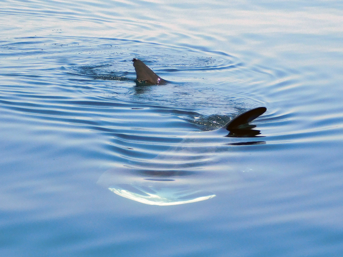 A basking shark off the coast in Cornwall, UK