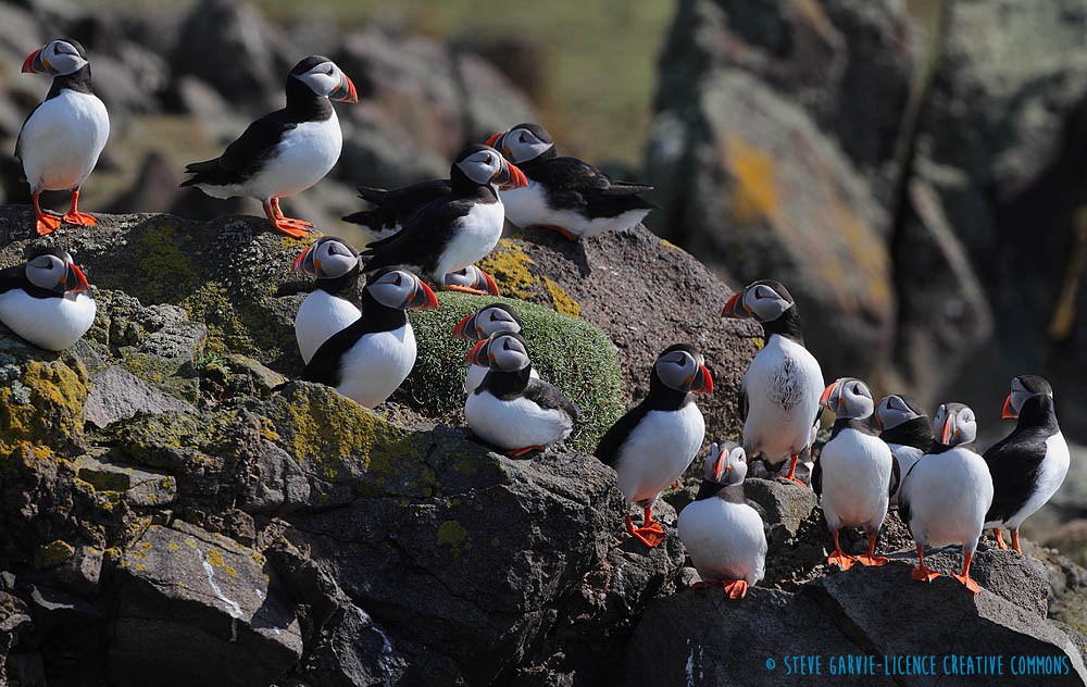 Atlantic or common puffin - Fratercula arctica