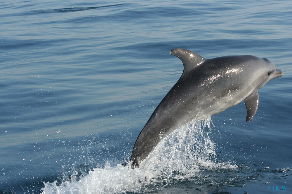 Bottlenose dolphin - <em>Tursiops truncatus</em>