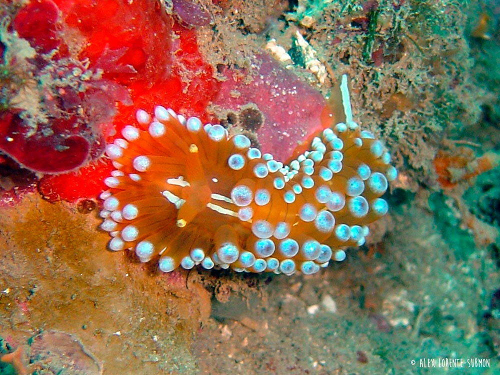 Opisthobranch (Sea slug) - Janolus cristatus