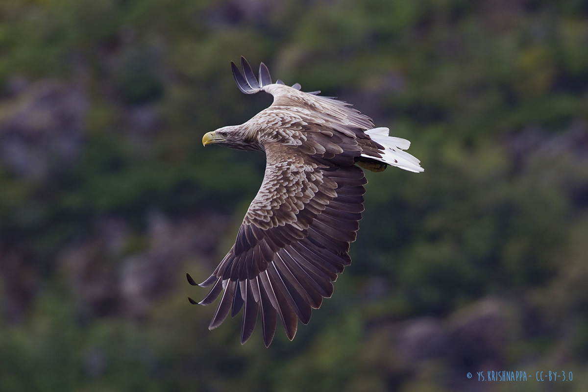 White-tailed eagle | Haliaeetus albicilla