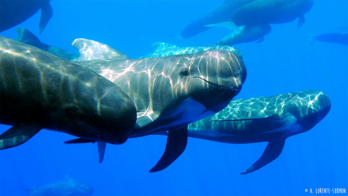Pilot whales in the Alboran Sea