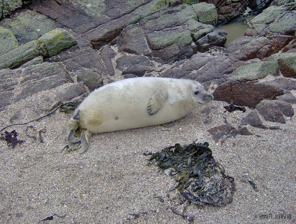 Grey seal pup in Inishtrahull - Halichoerus grypus