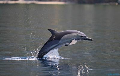 Ionian Dolphin Project | Tethys Institute (Greece)