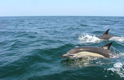 Dolphin Watching Tour in Lisbon (Portugal)