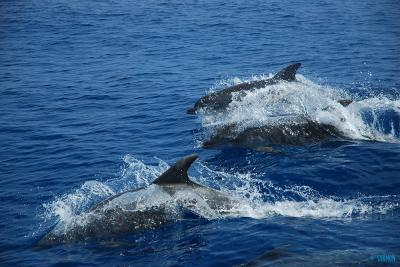 Bottlenose dolphins -&nbsp;<em>Tursiops truncatus</em>