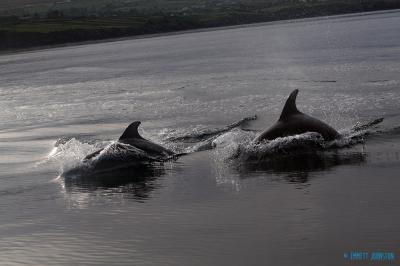 Bottlenose dolphins follow boat wake -&nbsp;<em>Tursiops truncatus</em>