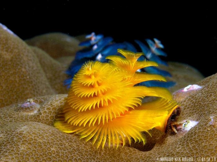 thumb.php?crop=0&n=wildlife%2FChristmas_tree_worms