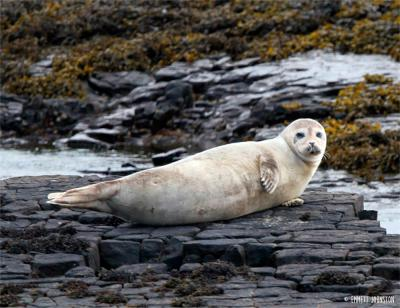 Common seal -&nbsp;<em>Phoca vitulina</em>