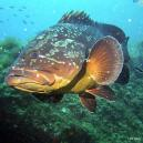 thumb.php?crop=0&n=wildlife%2FDusky-Grouper1