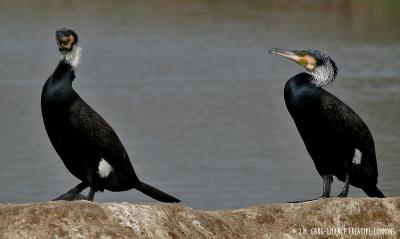 Great cormorant -&nbsp;<em>Phalacrocorax carbo</em>
