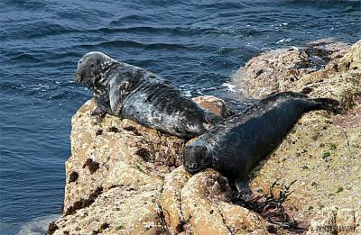 Grey seal -&nbsp;<em>Halichoerus grypus</em>
