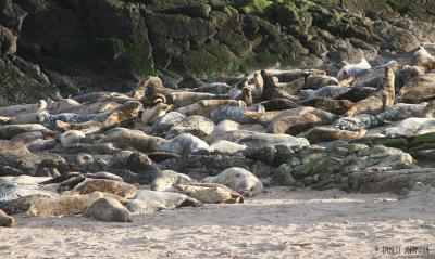 <span>Inishtrahull grey seal colony -&nbsp;<em>Halichoerus grypus</em></span>