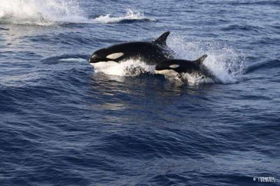 Orca or killer whale -&nbsp;<em>Orcinus orca</em>