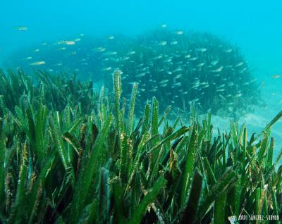Posidonia and fish -&nbsp;<em>Posidonia oceanica</em>