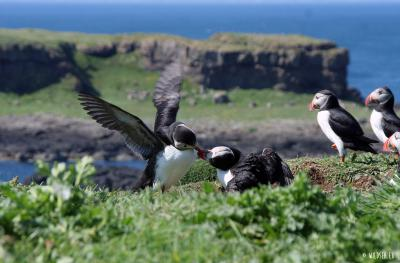 Atlantic or common puffin -&nbsp;<em>Fratercula arctica</em>