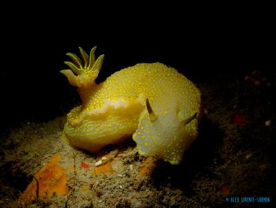 <span>Opisthobranch (Sea slug) -&nbsp;<em>Felimare-picta</em></span>