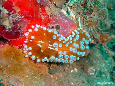<span>Opisthobranch (Sea slug) -&nbsp;<em>Janolus cristatus</em></span>