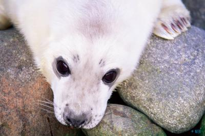 <span>Grey seal pup -&nbsp;<em>Halichoerus grypus</em></span>