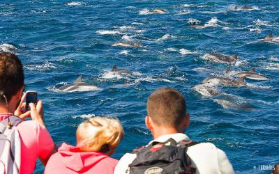 Watching striped dolphins -&nbsp;<em>Stenella coeruleoalba</em>