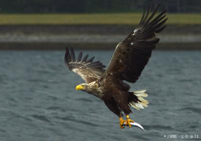 White-tailed eagle | <em>Haliaeetus albicilla</em>