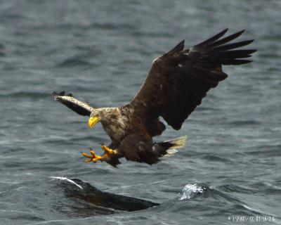 White-tailed eagle |&nbsp;<em>Haliaeetus albicilla</em>