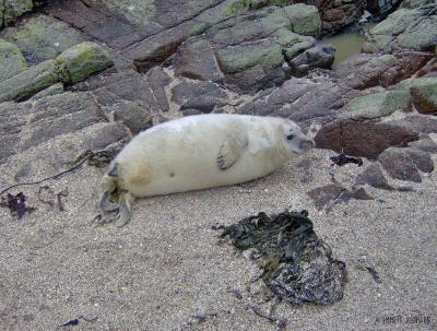 Grey seal pup in Inishtrahull -&nbsp;<em>Halichoerus grypus</em>