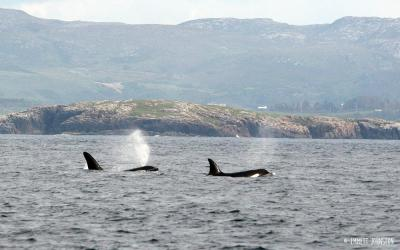 Orcas in Fanad Head -&nbsp;<em>Orcinus orca</em>
