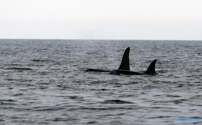 Orca in Lough Swilly -&nbsp;<em>Orcinus orca</em>