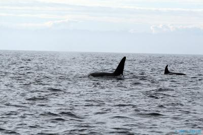 Orcas in Malin Head -&nbsp;<em>Orcinus orca</em>