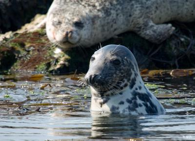 <span>Grey seal, Rathlin -&nbsp;<em>Halichoerus grypus</em></span>